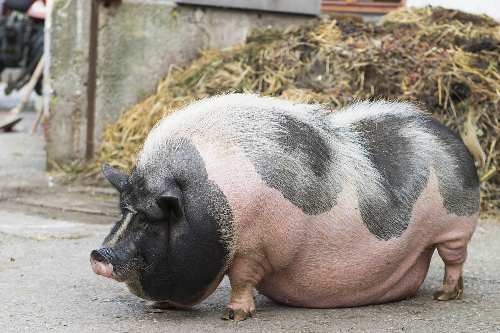 Discussion on this topic: How to Breed Pot Bellied Pigs, how-to-breed-pot-bellied-pigs/